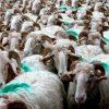 moutons culture pastorale